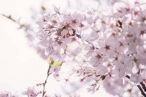 桜の種類♪開花の時期と名前一覧!