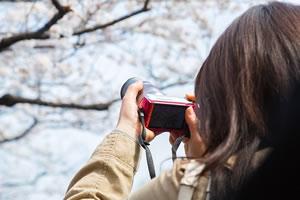 桜の種類と分類